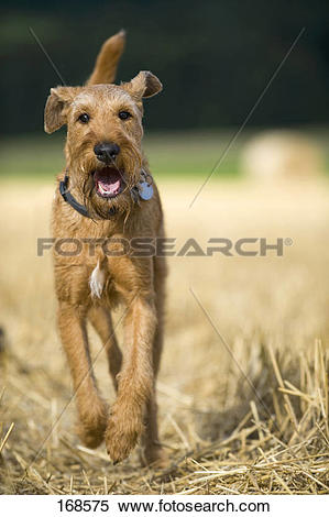 Stock Image of Irish Terrier walking in a stubble field 168575.