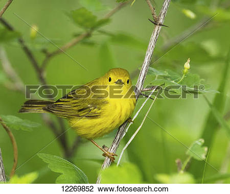 Stock Photo of Yellow Warbler (Dendroica petechia) in spring.
