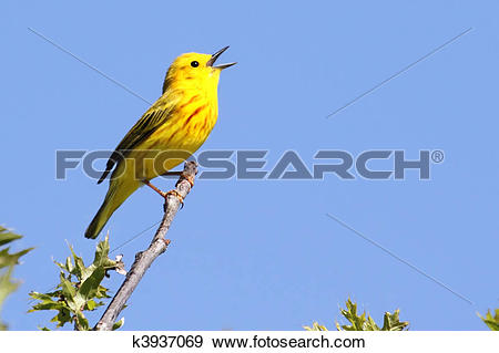 Stock Photograph of Yellow Warbler (Dendroica petechia) Singing.