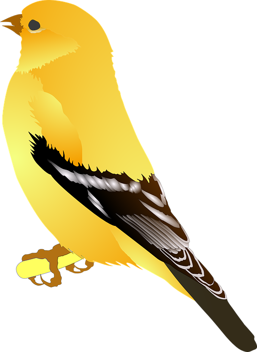 Free photo Feathers Yellow Bird Wings Goldfinch Brown Golden.