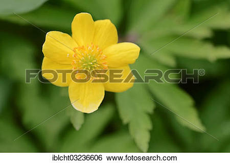 """Stock Images of """"Yellow Anemone, Yellow Wood Anemone or Buttercup."""