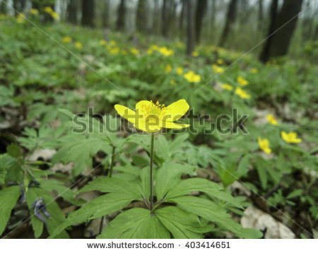 Ranunculoides Stock Photos, Royalty.