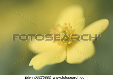 """Stock Photo of """"Yellow Wood Anemone or Buttercup Anemone (Anemone."""
