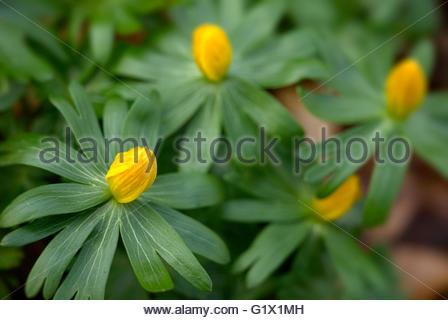 Yellow Wood Anemone Stock Photos & Yellow Wood Anemone Stock.