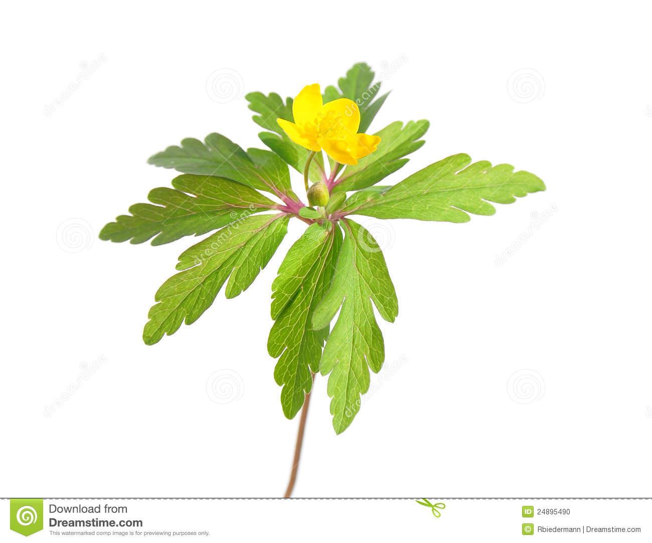 The Yellow Anemone, Yellow Wood Anemone Stock Photo.