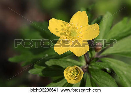 """Stock Photography of """"Yellow Anemone, Yellow Wood Anemone or."""