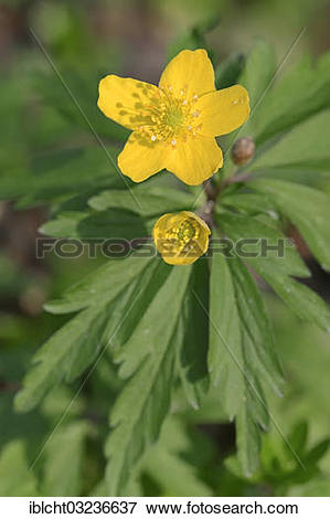 """Picture of """"Yellow Anemone, Yellow Wood Anemone or Buttercup."""