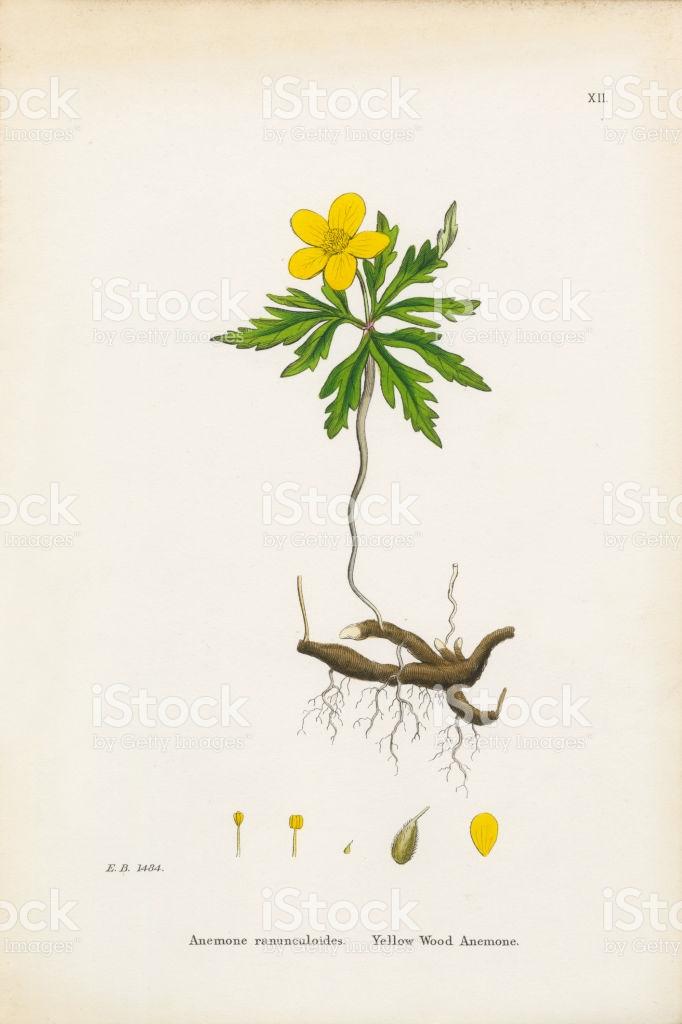 Yellow Wood Anemone Anemone Anemone Ranunculoides Victorian.