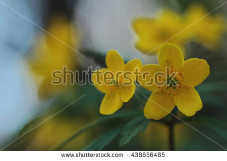 Spring Flowers Forest Wood Anemone Windflower Stock Photo 47550385.
