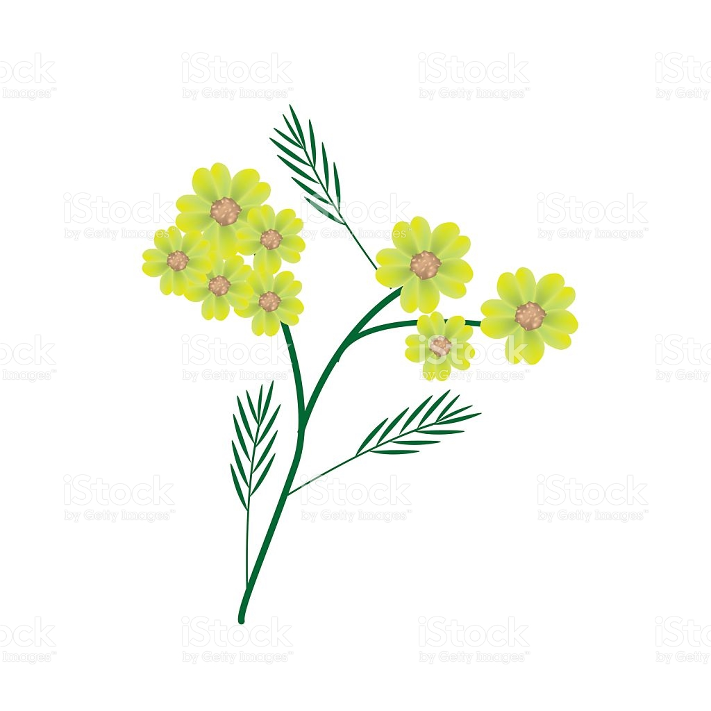 Blossoming Of Yellow Yarrow Flowers Or Achillea Millefolium.