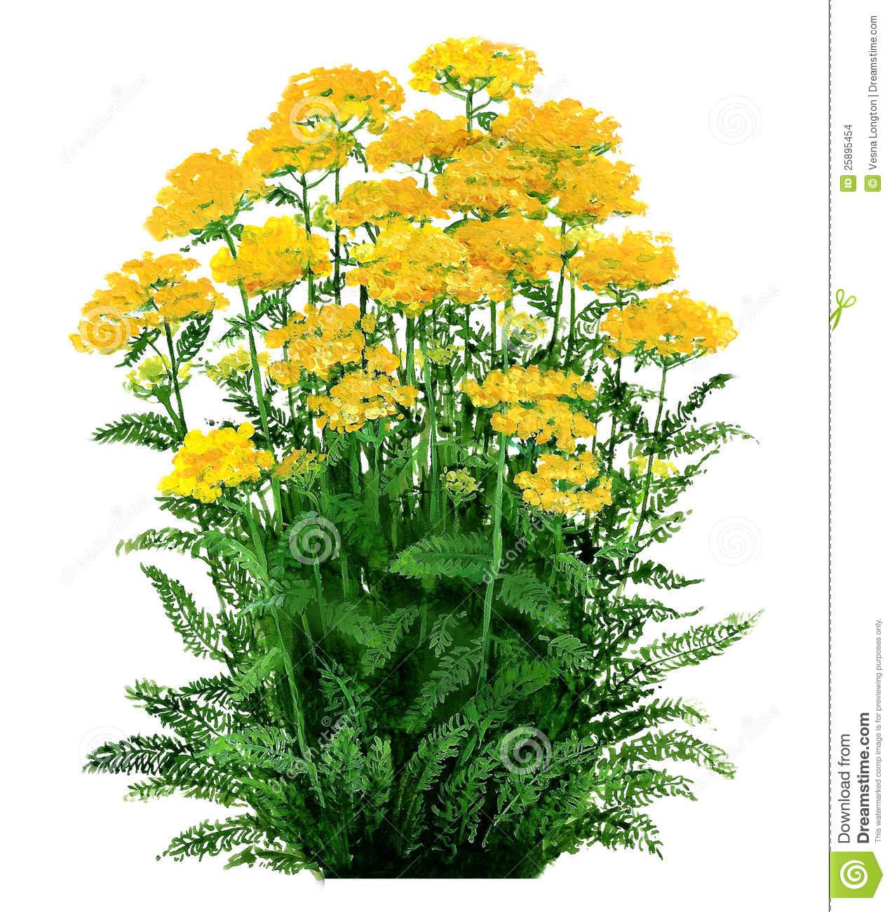 Yarrow Stock Illustrations.
