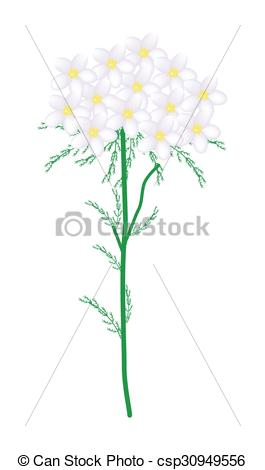 Clipart Vector of White Yarrow Flowers or Achillea Millefolium.