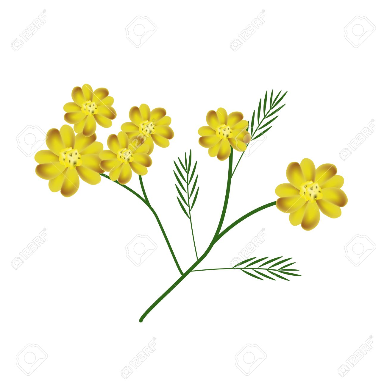 Beautiful Flower, Illustration Of Yellow Yarrow Flowers Or.