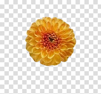 Flowers , yellow and orange flower transparent background.