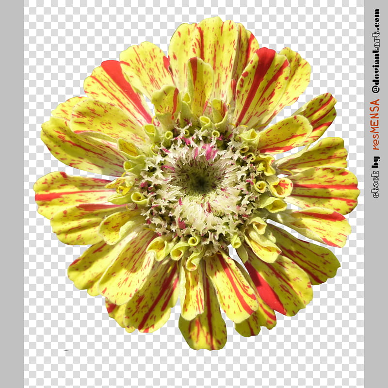Zinnia mix , yellow flower in bloom transparent background.