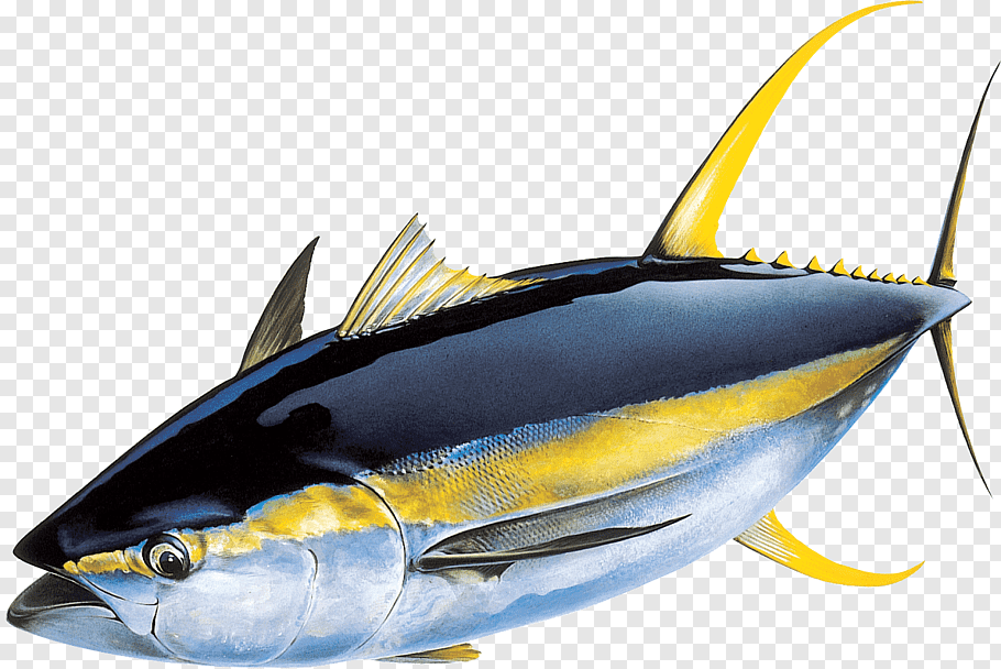 Tuna illustration, Yellowfin tuna Atlantic bluefin tuna.