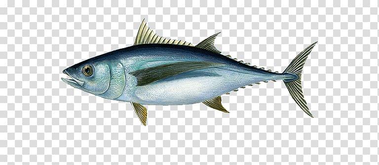 Atlantic bluefin tuna Albacore Yellowfin tuna Fishing.