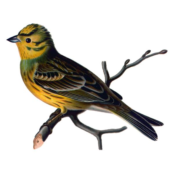 Yellowhammer Bird (free download).