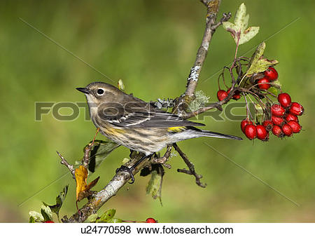 Pictures of Yellow rumped Warbler, Canada. u24770598.