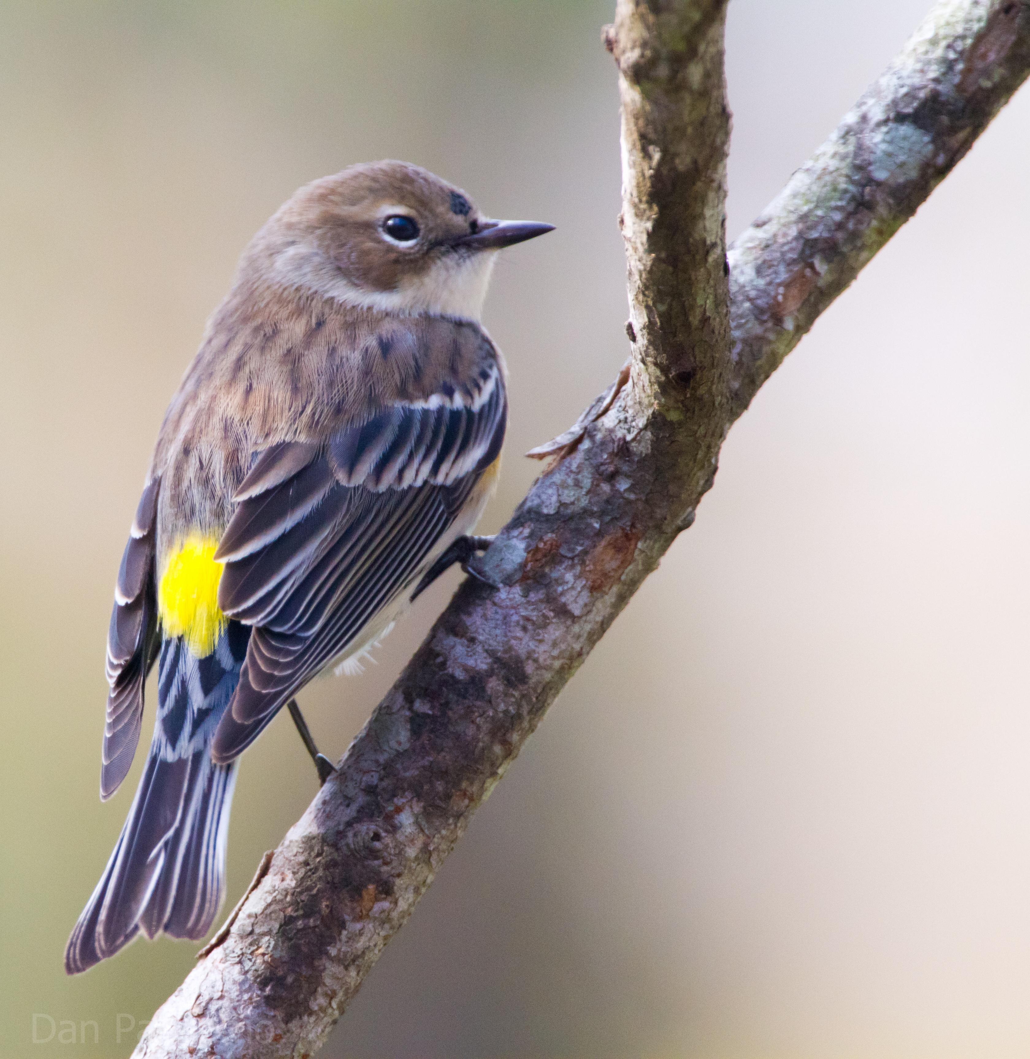 Yellow Warbler.