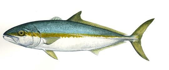 Kingfish Clipart.