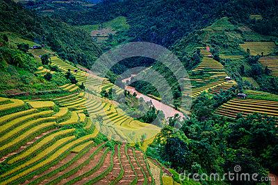 Gold Terraced Rice Fields In Mu Cang Chai,Yen Bai, Vietnam Stock.