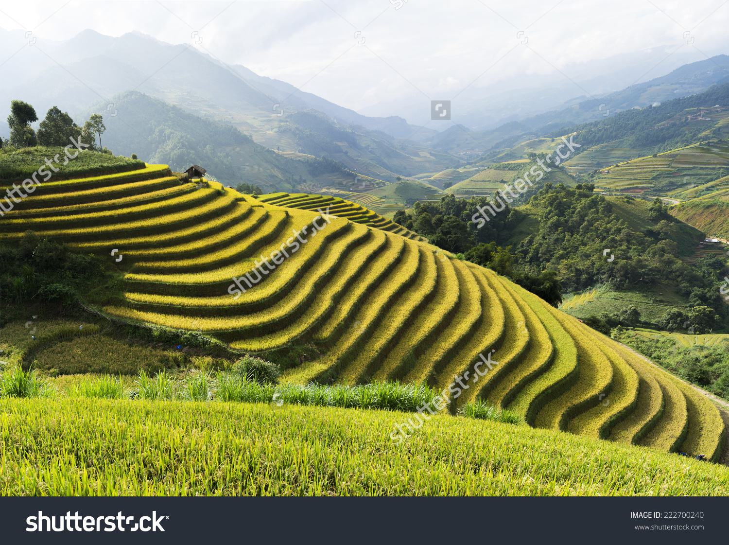 Asia Rice Field By Harvesting Season Stock Photo 222700240.