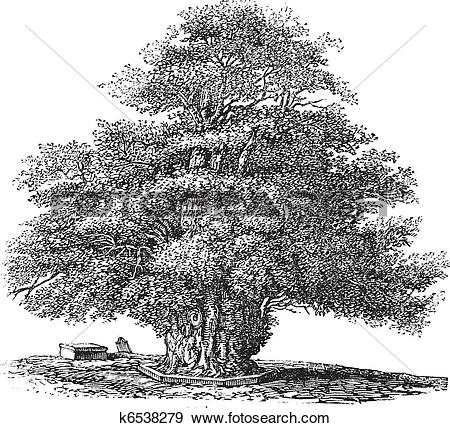 Clip Art of Yew tree or Taxus baccata at St. Helens church in.