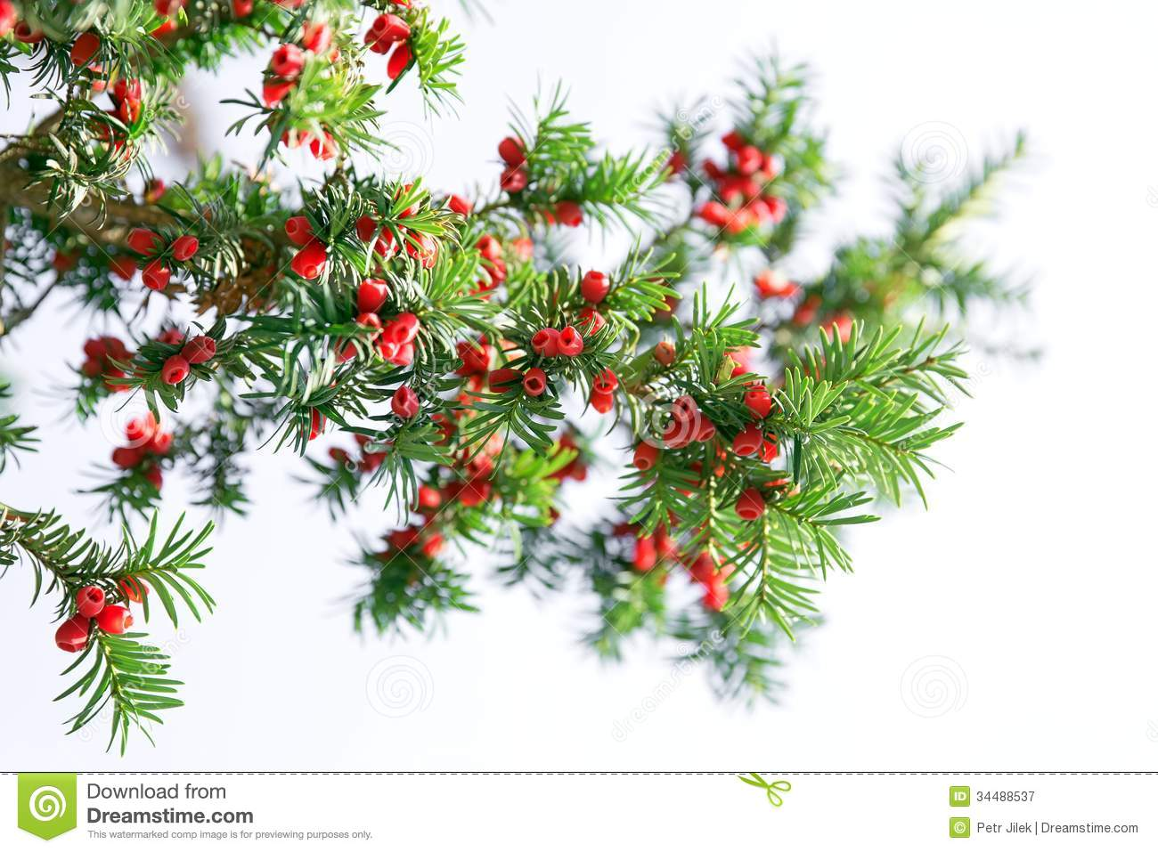 Red Yew Tree Royalty Free Stock Photography.