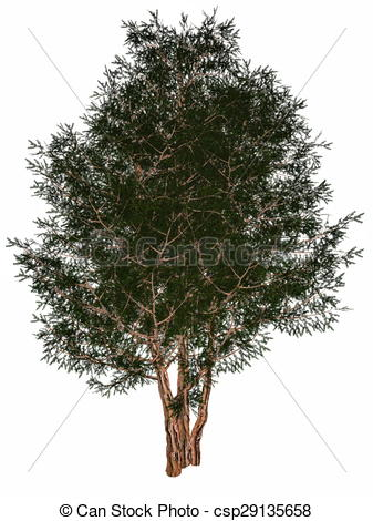 Stock Illustrations of English or European yew, taxus baccata tree.