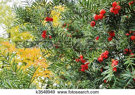 Stock Photograph of Christmas yew (taxus baccata) with red berries.
