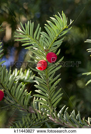 Picture of Sprig of yew (Taxus baccata) with red berries.
