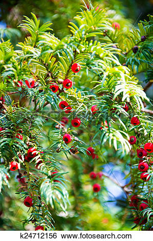 Stock Images of taxus baccata, european yew tree k24712156.