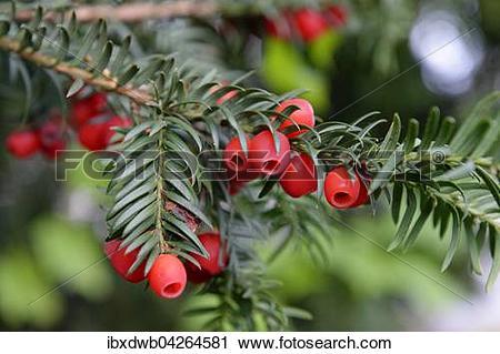 Stock Photography of Europaische Eibe mit roten Fruchten, Gemeine.