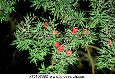 Stock Photo of yew berries taxus baccata cambridgeshire, england.