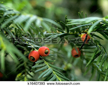 Stock Photo of yew berries k16407393.