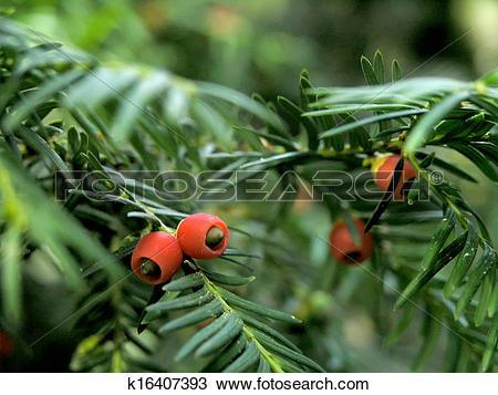 Stock Photo of yew berries k16407393.