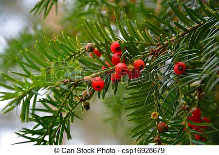 Picture of Yew berry. Conifers branches with red berries yew.