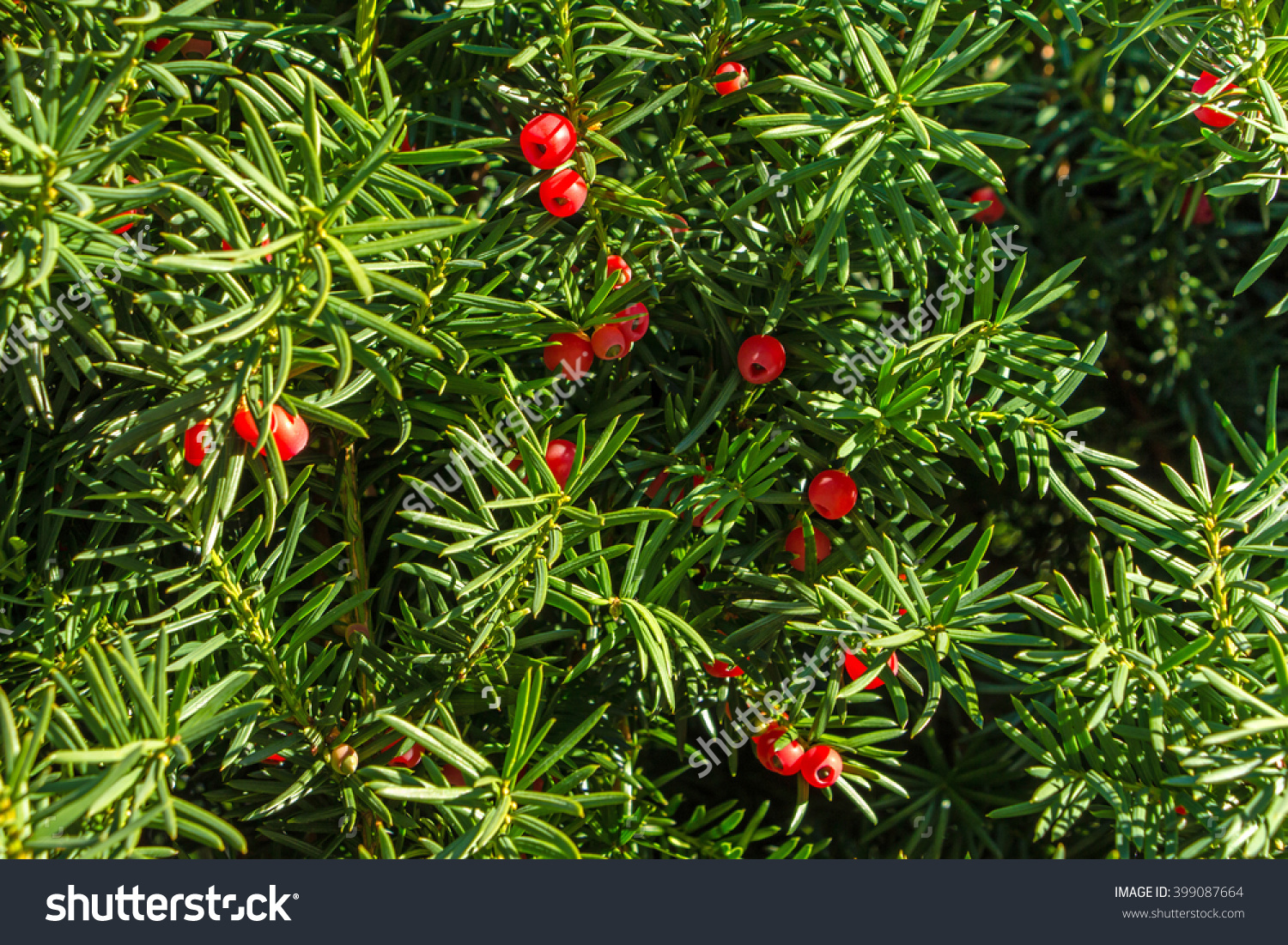 Yew Tree With Red Fruits. Taxus Baccata. Branch With Mature.