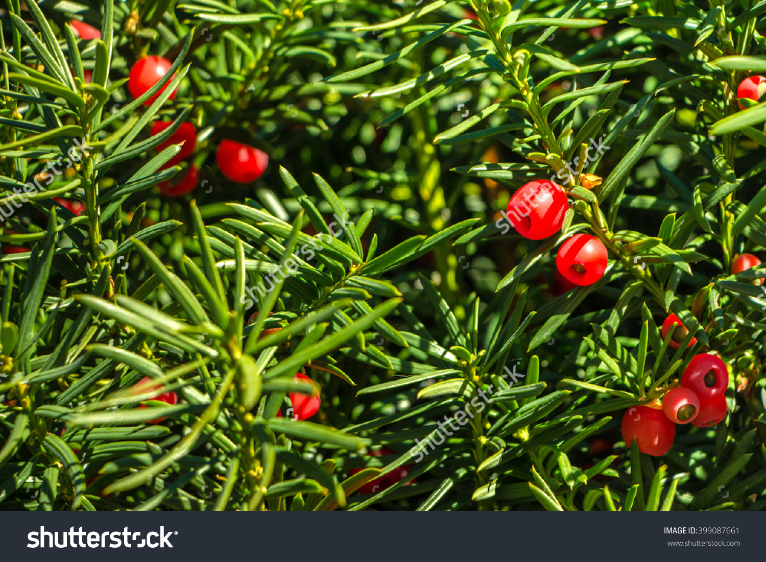 Yew Tree Red Fruits Taxus Baccata Stock Photo 399087661.