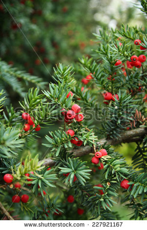 Yew Tree Red Fruits Taxus Baccata Stock Photo 399087664.