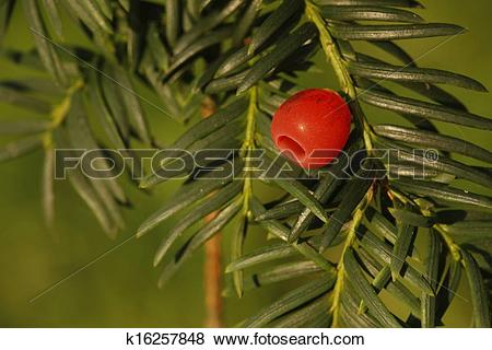 Pictures of Yew tree, Taxus baccata k16257848.