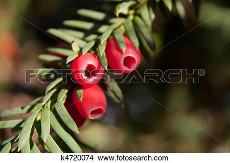 Stock Photo of Yew branch with red fruits k4720074.