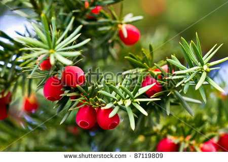 Yew Tree With Red Fruits Stock Photo 87119809 : Shutterstock.