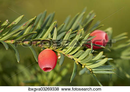"Pictures of ""English Yew or European Yew (Taxus baccata), branch."