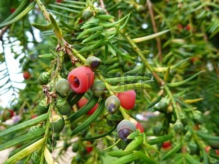 Yew Fruits Stock Photos Images. Royalty Free Yew Fruits Images And.
