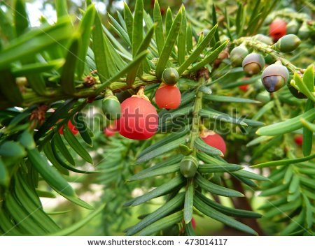 Yew Fruit Stock Photos, Royalty.