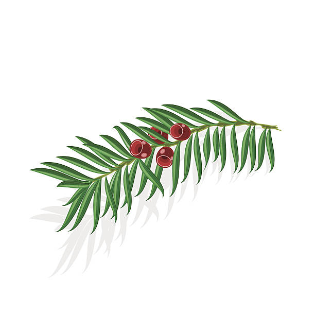 Yew Berries Clip Art, Vector Images & Illustrations.