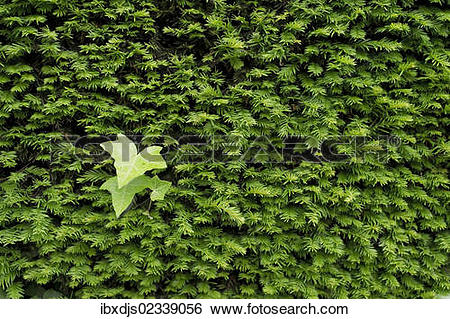 Stock Images of Yew (Taxus sp.) hedge and Ivy leaves.