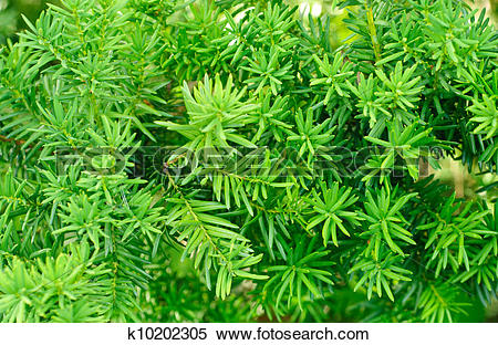 Stock Image of Yew (Taxus baccata) green leaves background.